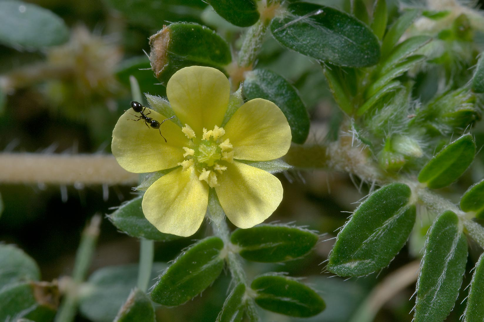 Puncturevine (Caltrop, Tribulus terrestris) in...State Historic Site. Washington, Texas