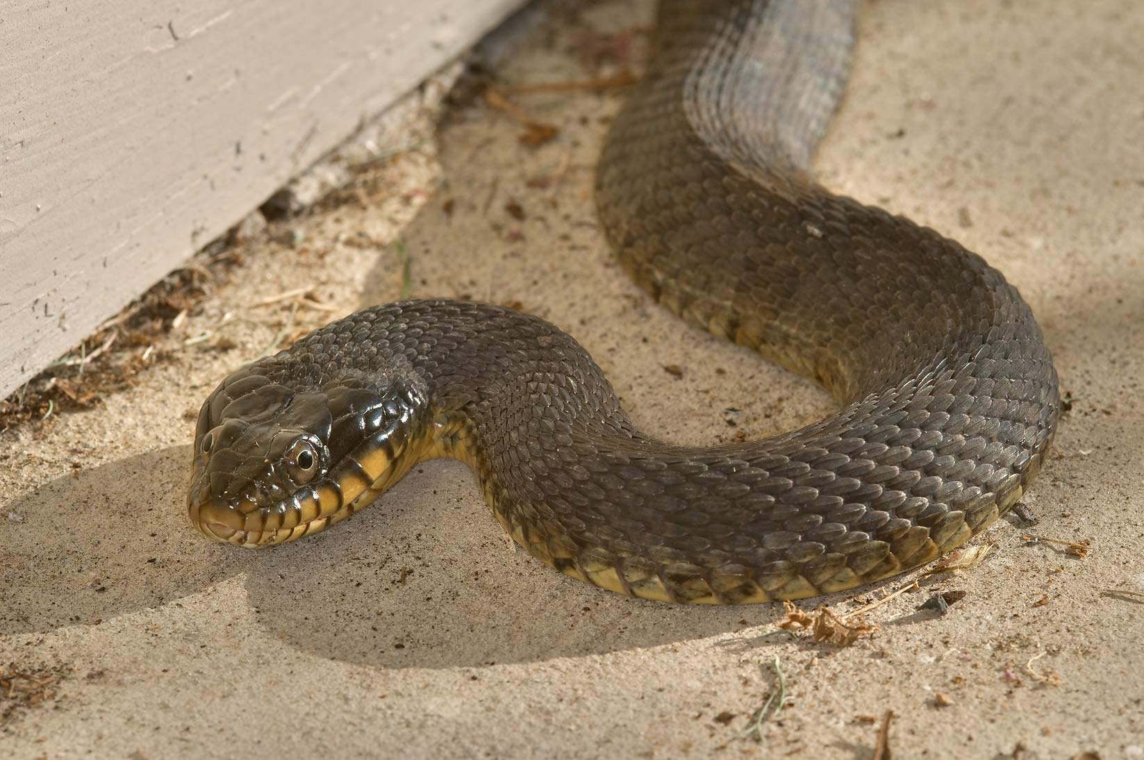 Yellow-Bellied Water Snake, Nerodia erythrogaster...Bush Dr.. College Station, Texas