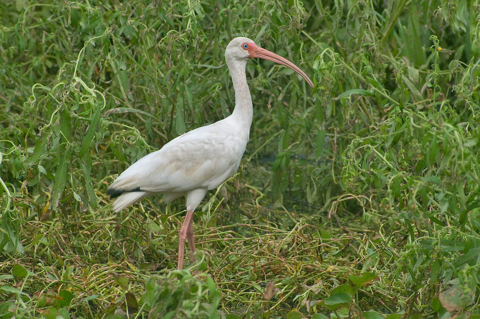 White ibis (Eudocimus albus) bird with long...Bend State Park. Needville, Texas