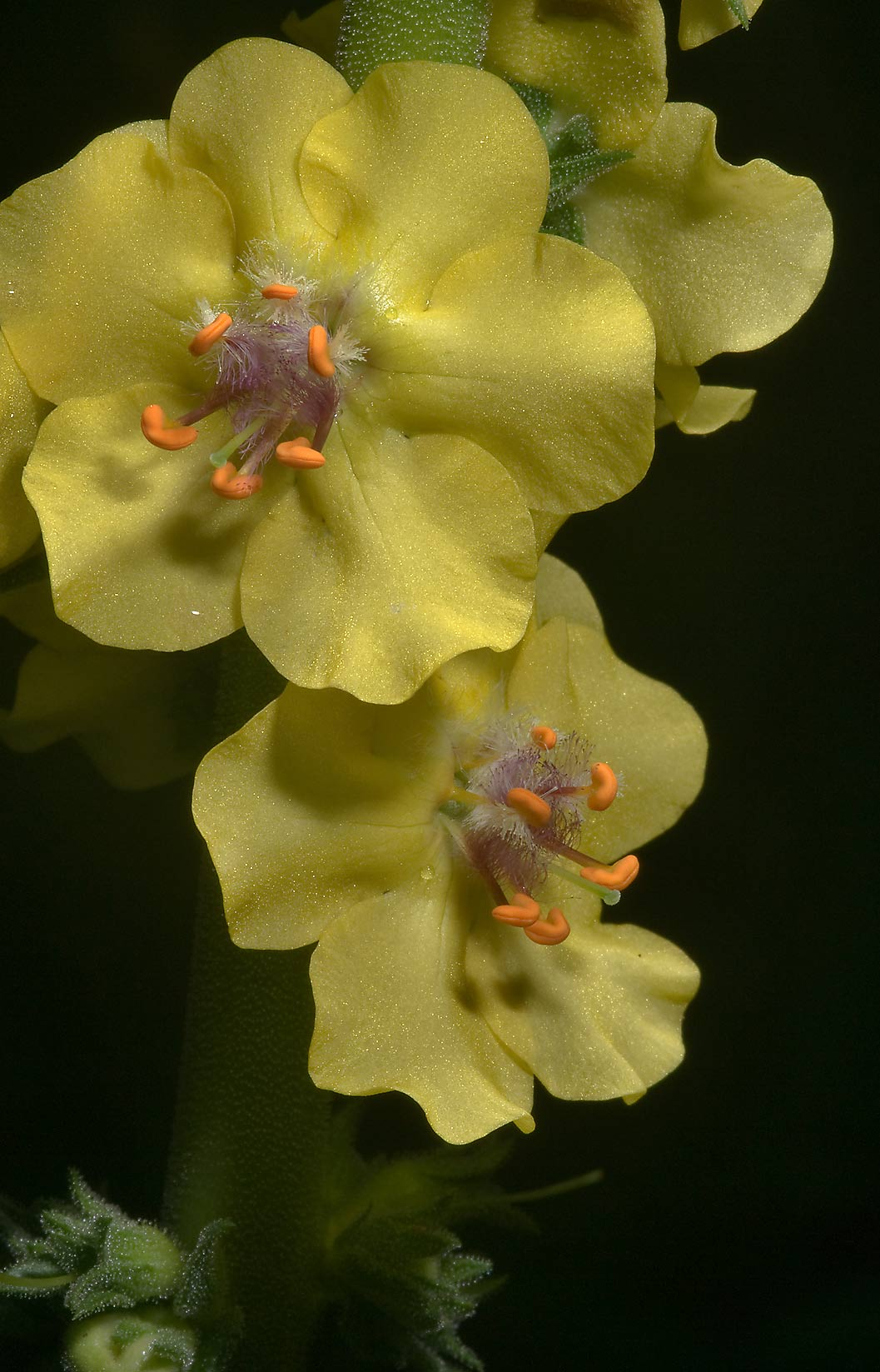 Small yellow mullein (Verbascum) in Mercer...Gardens. Humble (Houston area), Texas