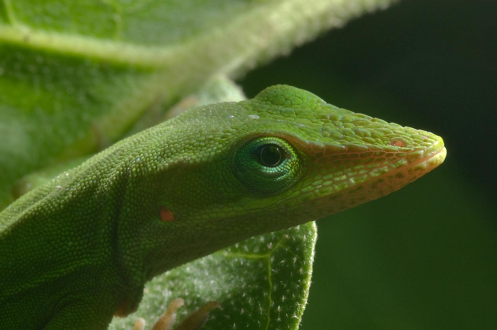 Back lit green anole (Anolis carolinensis) on...M University. College Station, Texas