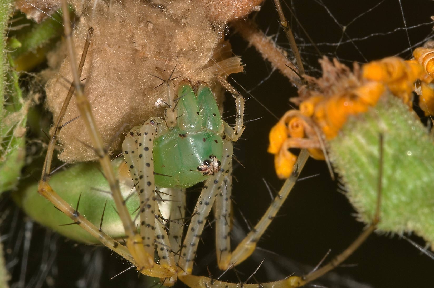 Green lynx spider with an egg sack in Lick Creek Park. College Station, Texas