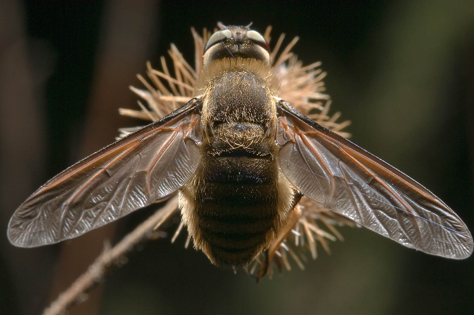 Bee fly (Bombyliidae) in Lick Creek Park. College Station, Texas