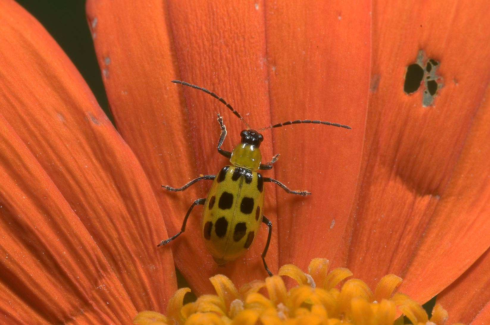 Spotted cucumber beetles (Diabrotica...M University. College Station, Texas