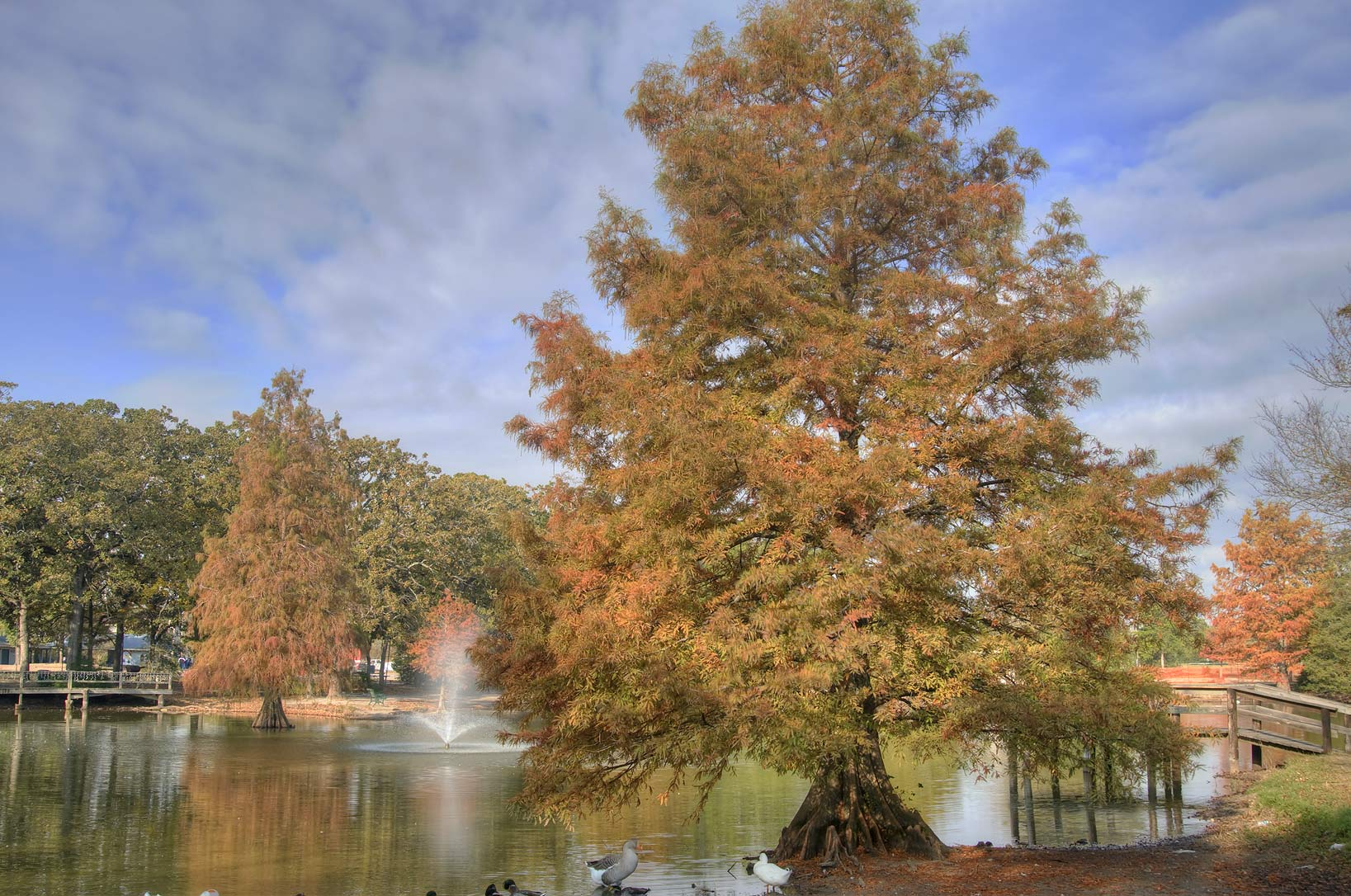 Fall colors of cypress trees in Central Park. College Station, Texas