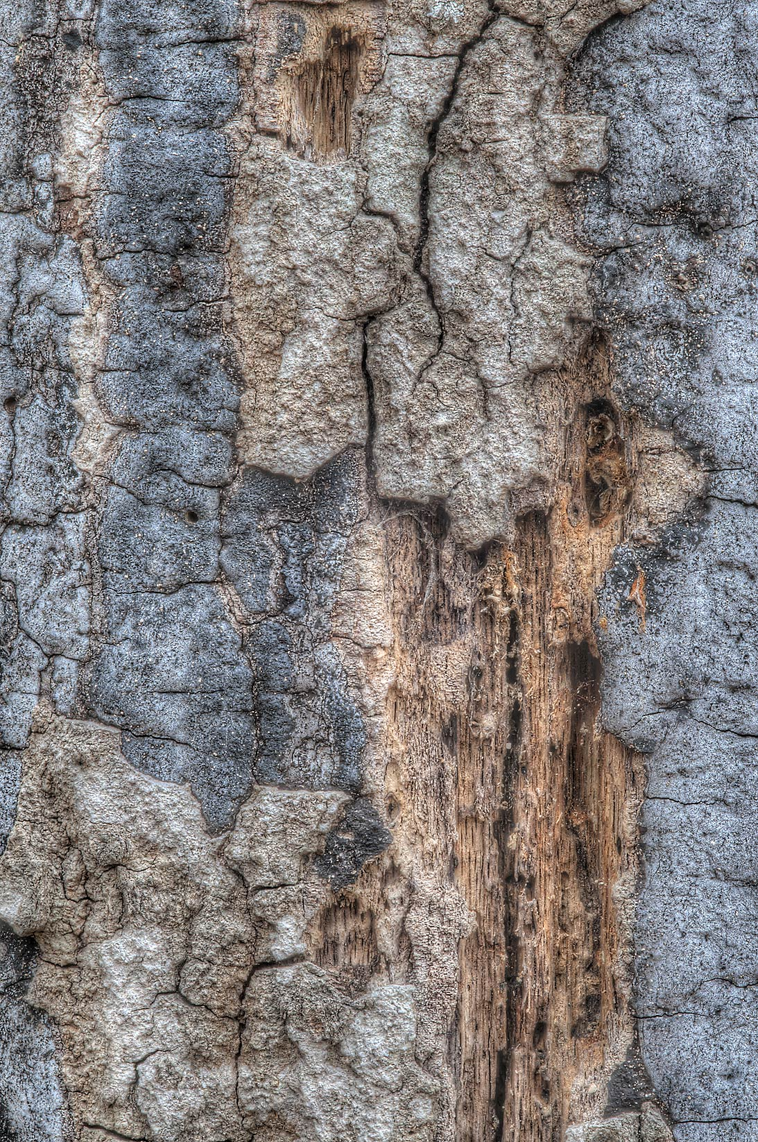 Bark of dead tree near Racoon Run Trail in Lick Creek Park. College Station, Texas