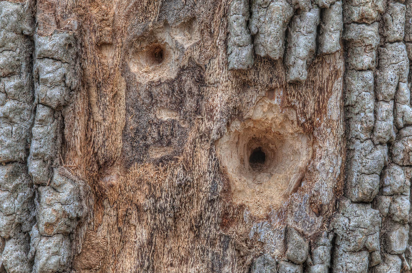 Dead tree with woodpecker holes near Racoon Run...Creek Park. College Station, Texas