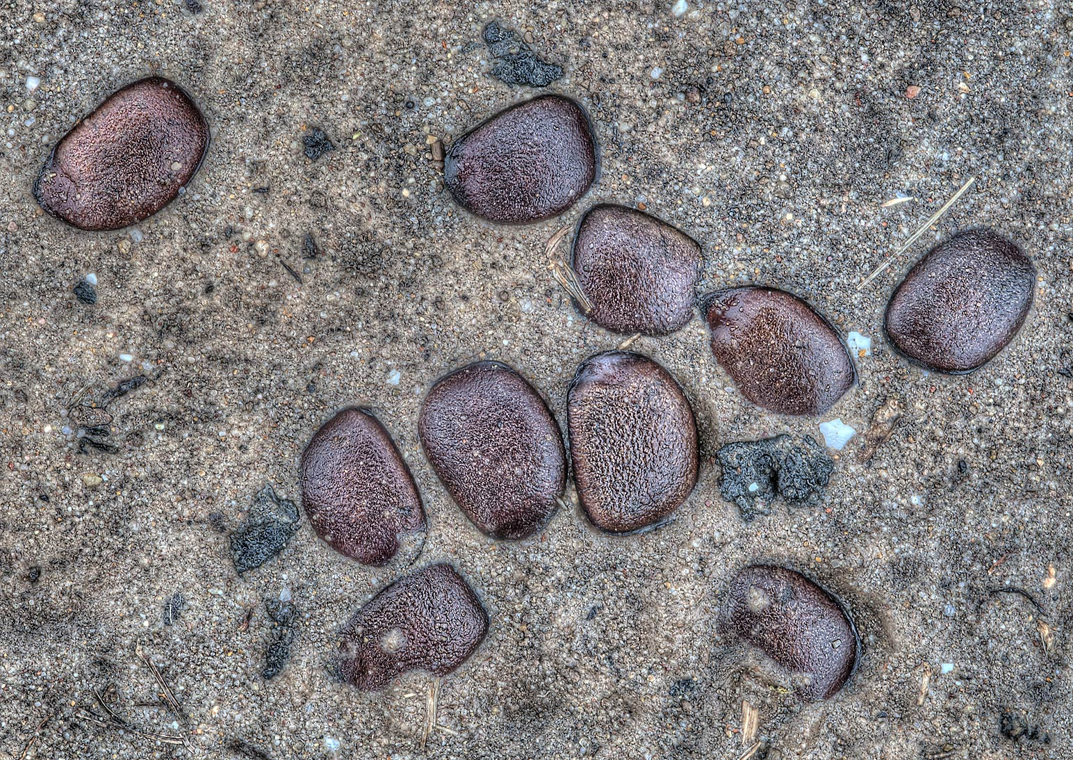 Persimmon seeds in animal droppings on a trail in...State Historic Site. Washington, Texas
