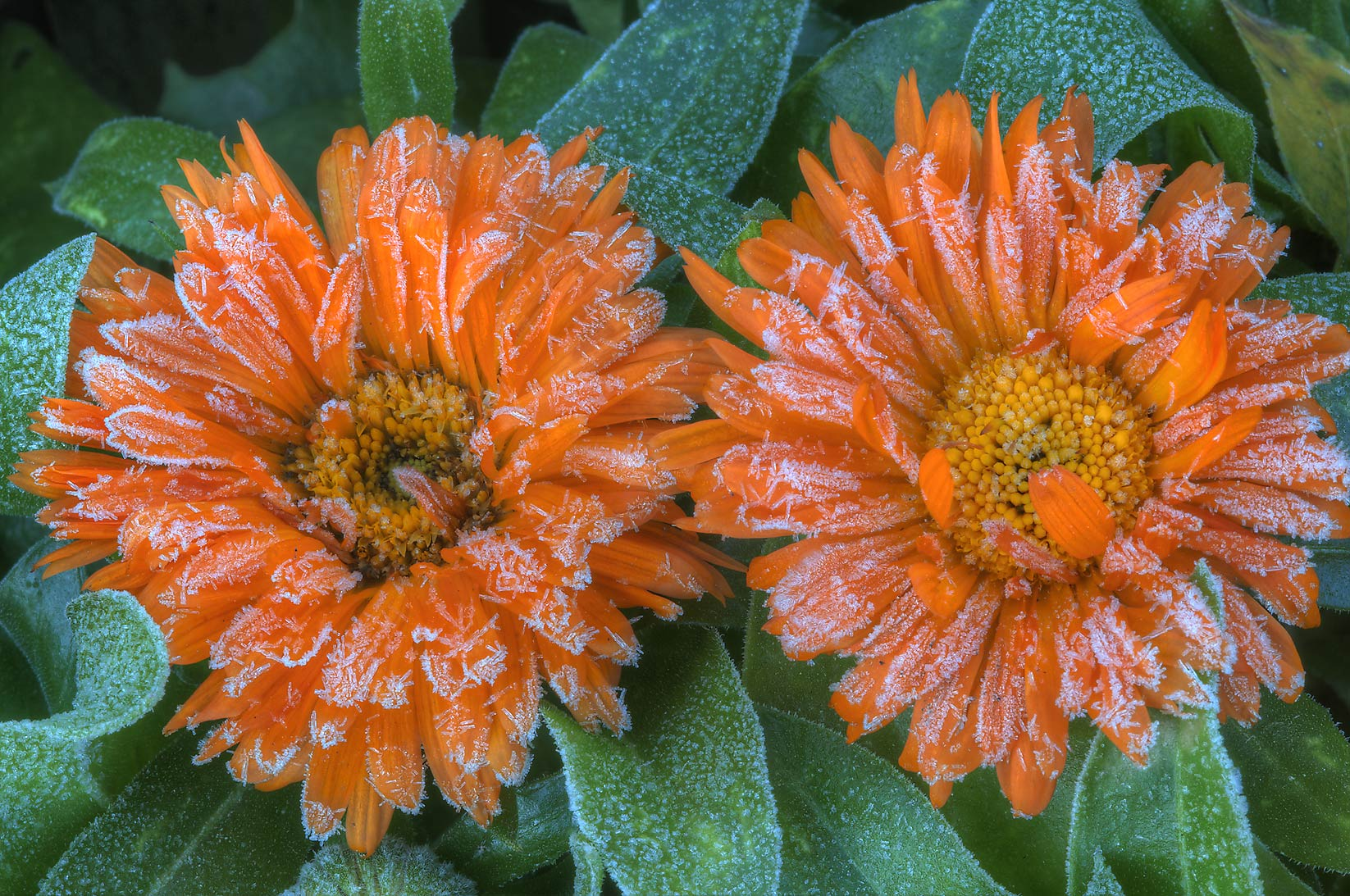 Marigold flowers with freeze in TAMU Holistic...M University. College Station, Texas