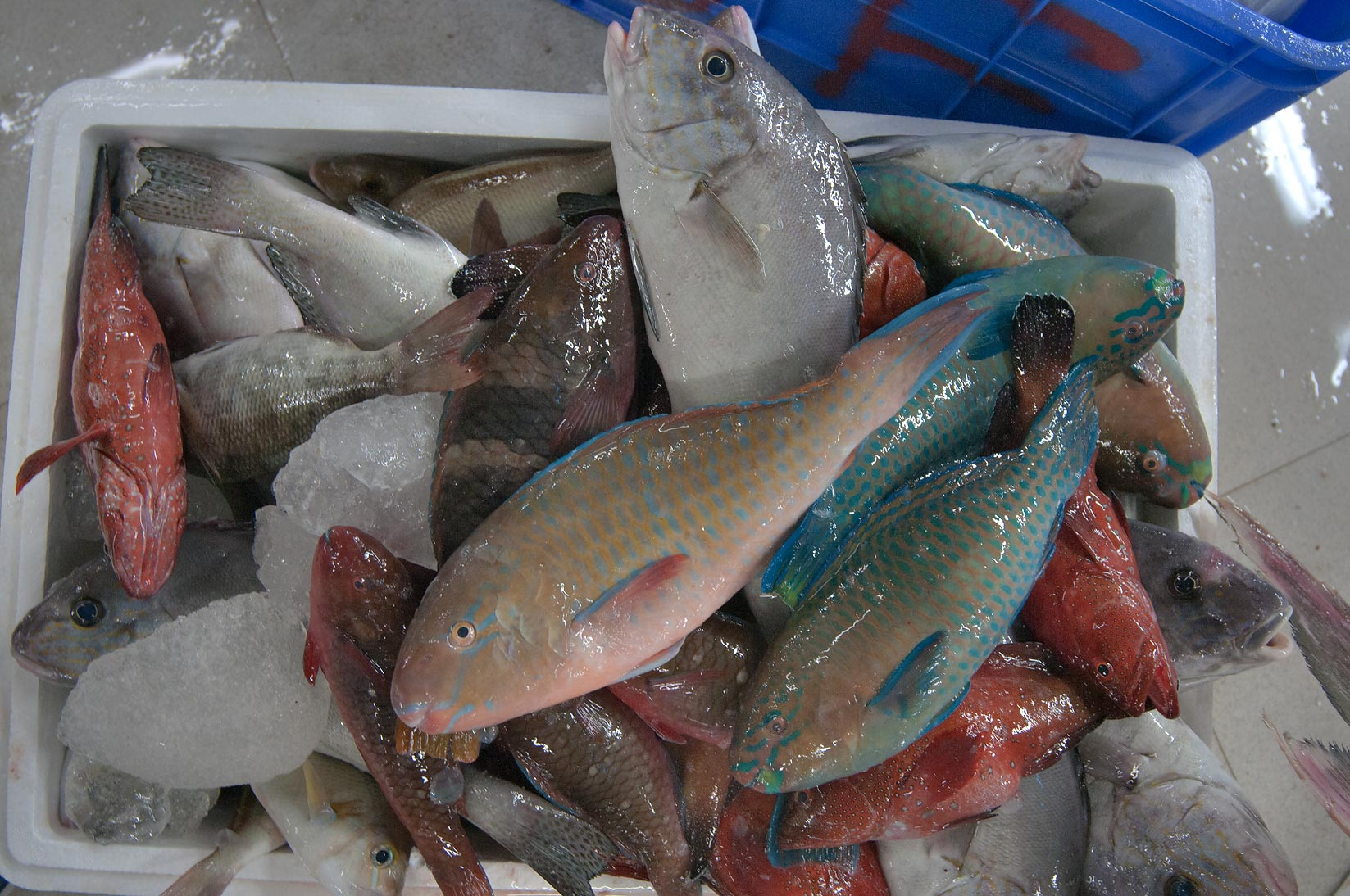 Box of parrotfish (Gain, Chlorurus sordidus) in Central Fish Market. Doha, Qatar