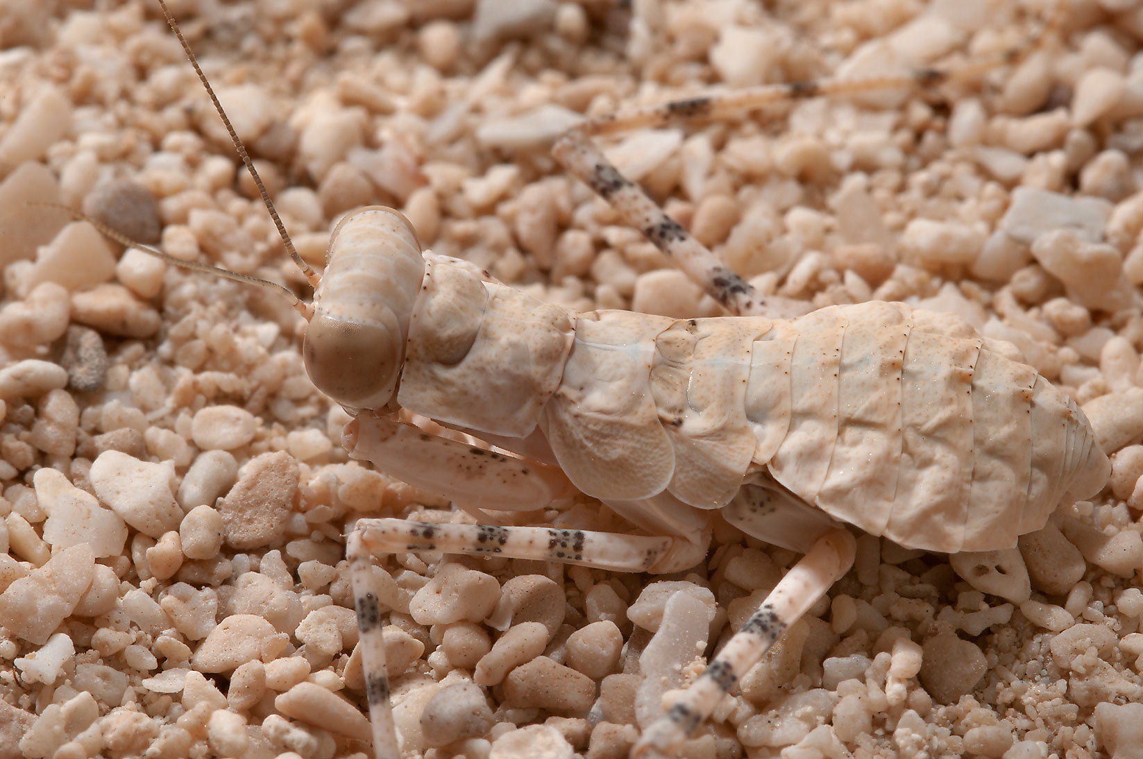 Common ground mantis (Eremiaphila baueri) in...site, on north-eastern coast. Qatar