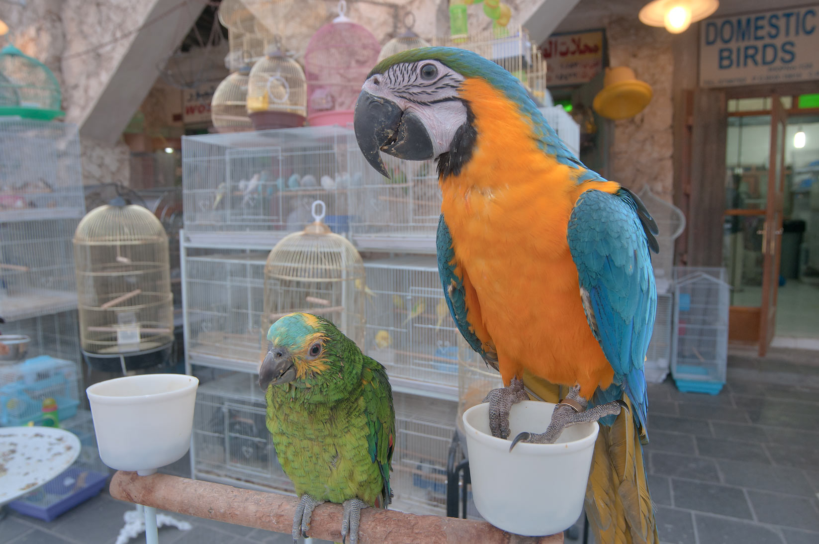 Parrots in pet market in Souq Waqif. Doha, Qatar