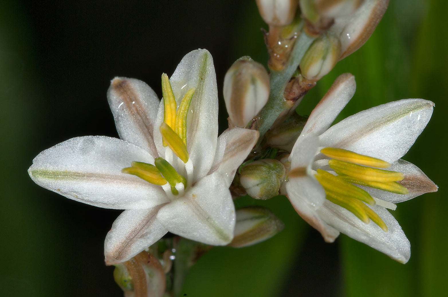 Asphodel flowers in TAMU Holistic Garden in Texas...M University. College Station, Texas