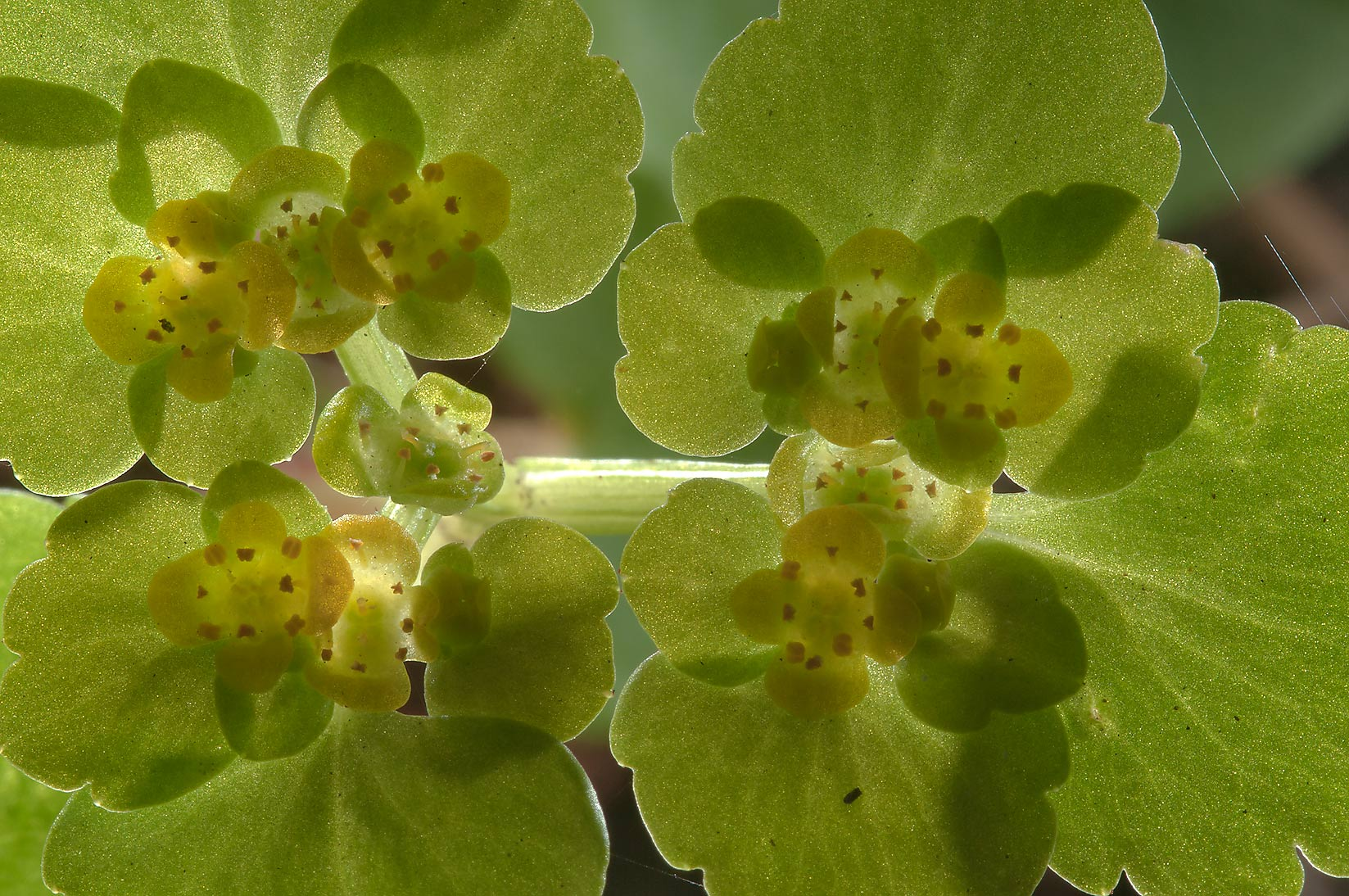 Back lit Alternate-leaved Golden Saxifrage...Park, suburb of St.Petersburg. Russia