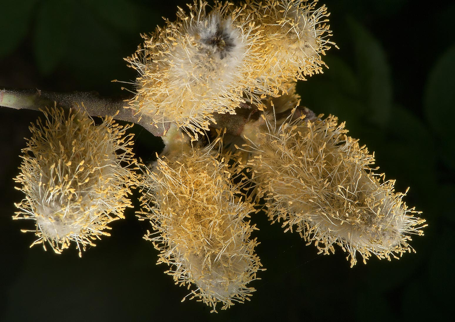 Willow catkins (Salix caprea, Russian name Iva...Park, suburb of St.Petersburg. Russia