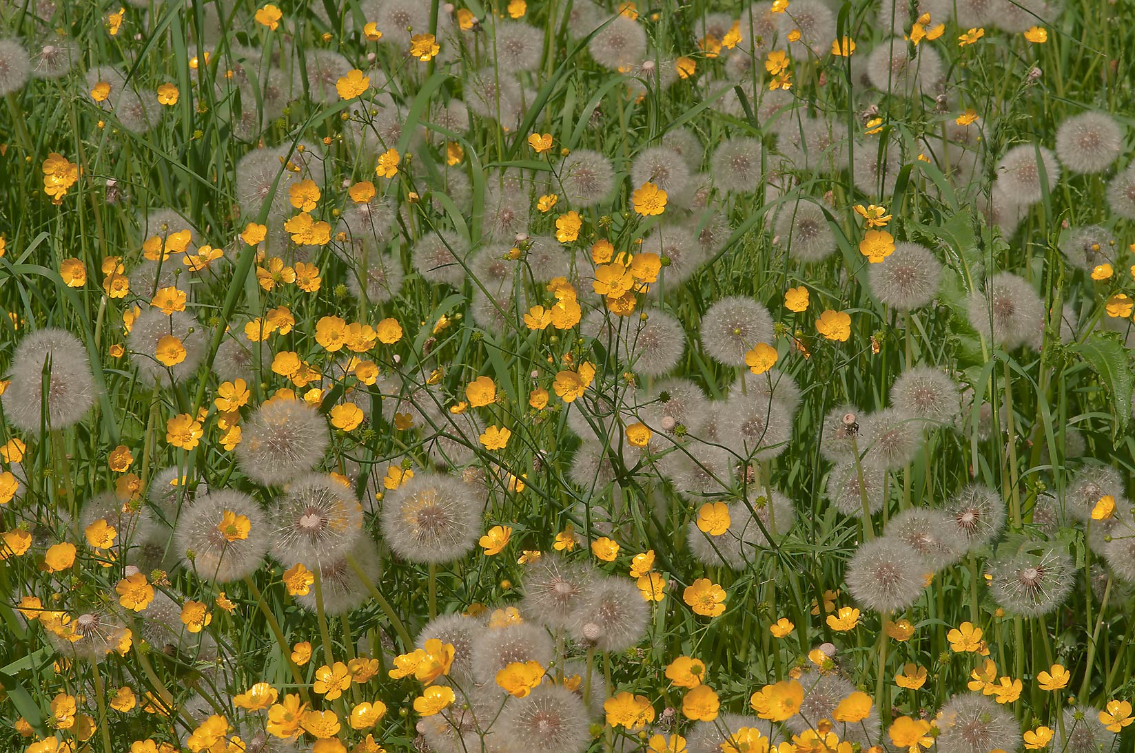 Dandelions and buttercups in Botanic Gardens of...Institute. St.Petersburg, Russia