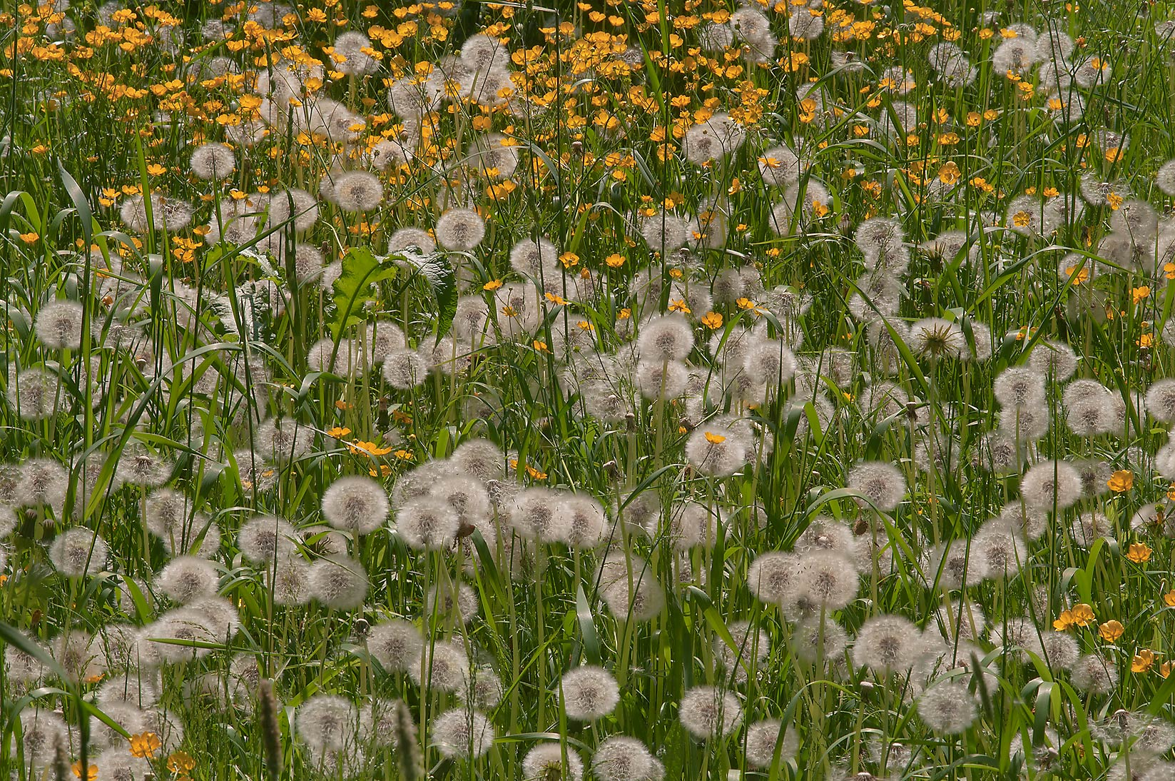 Seed heads of dandelions in Botanic Gardens of...Institute. St.Petersburg, Russia