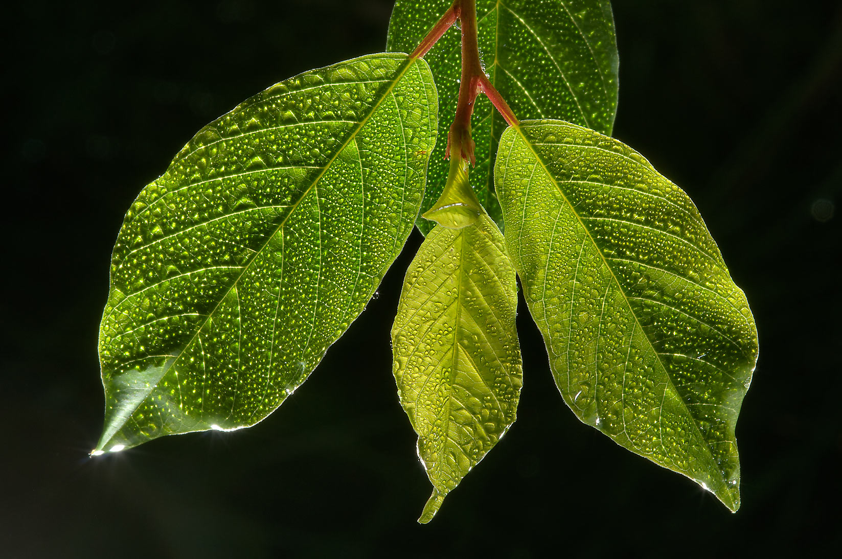 Young leaves of Alder Buckthorn (Frangula alnus...miles north from St.Petersburg. Russia