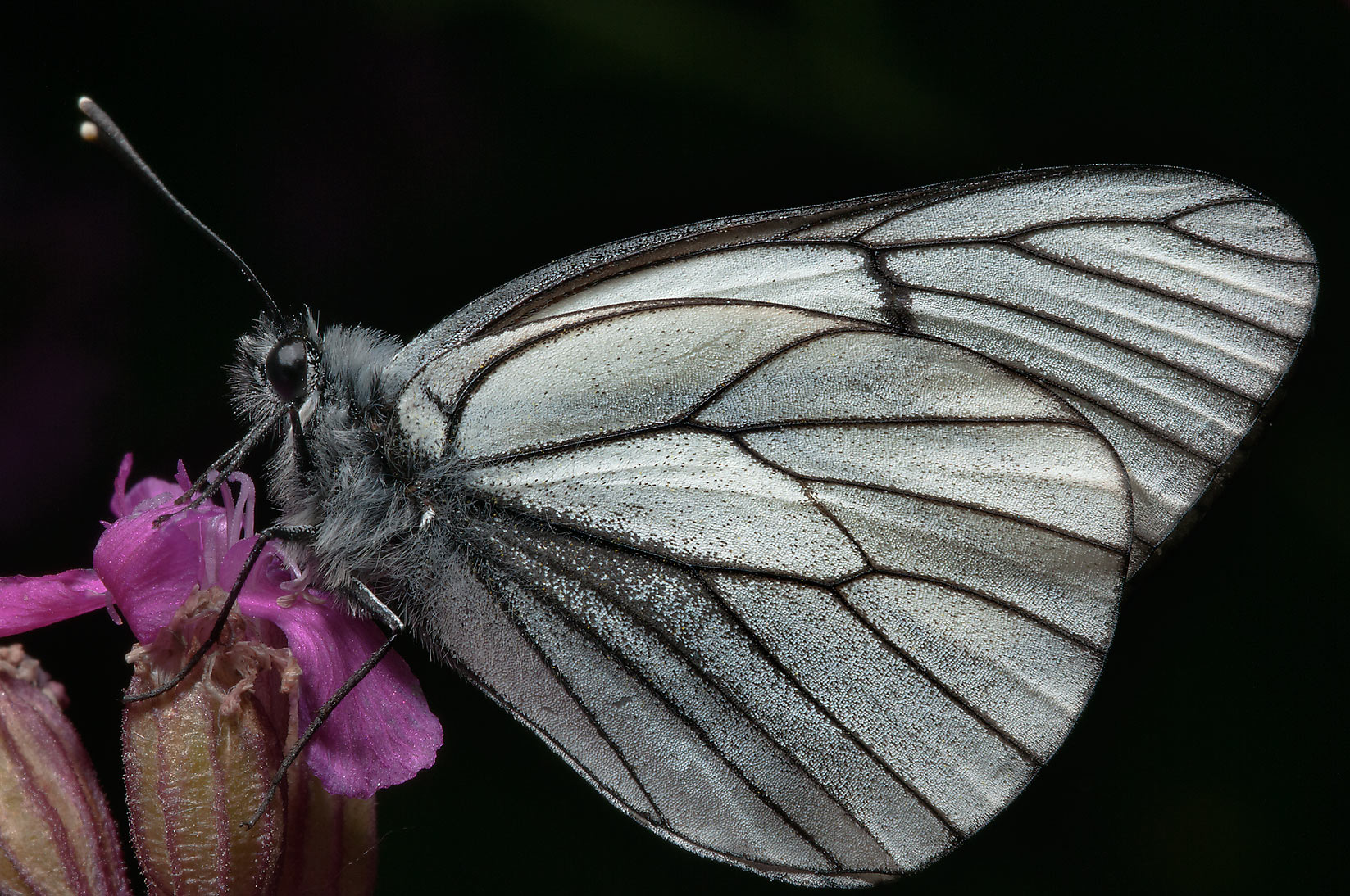 Black-veined white butterfly (Aporia crataegi) on...miles north from St.Petersburg. Russia