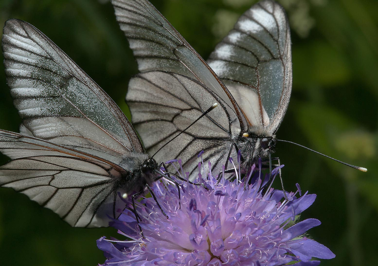 Two black-veined white butterflies (Aporia...miles south from St.Petersburg. Russia