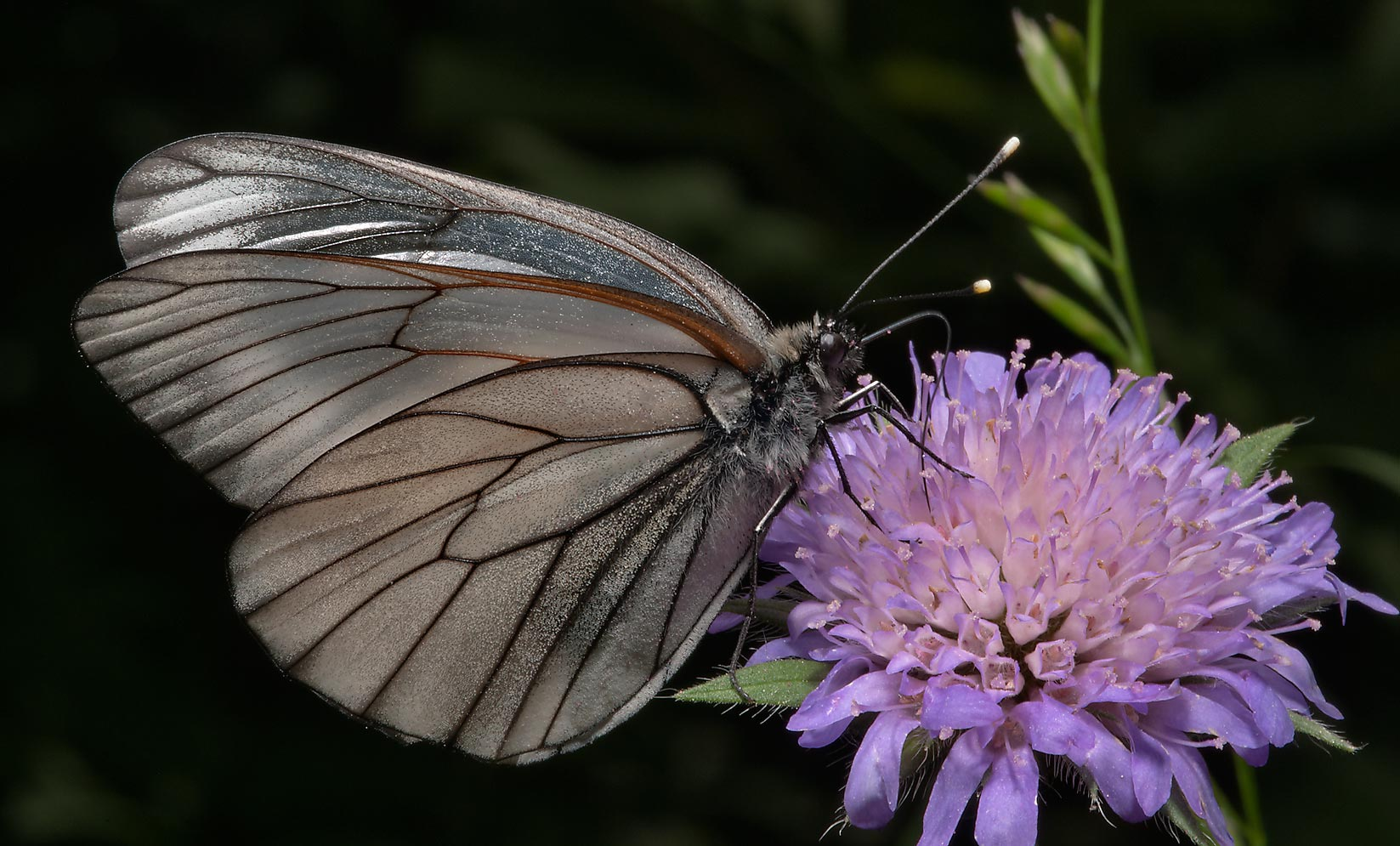 Black-veined white butterfly (Aporia crataegi) on...miles south from St.Petersburg. Russia