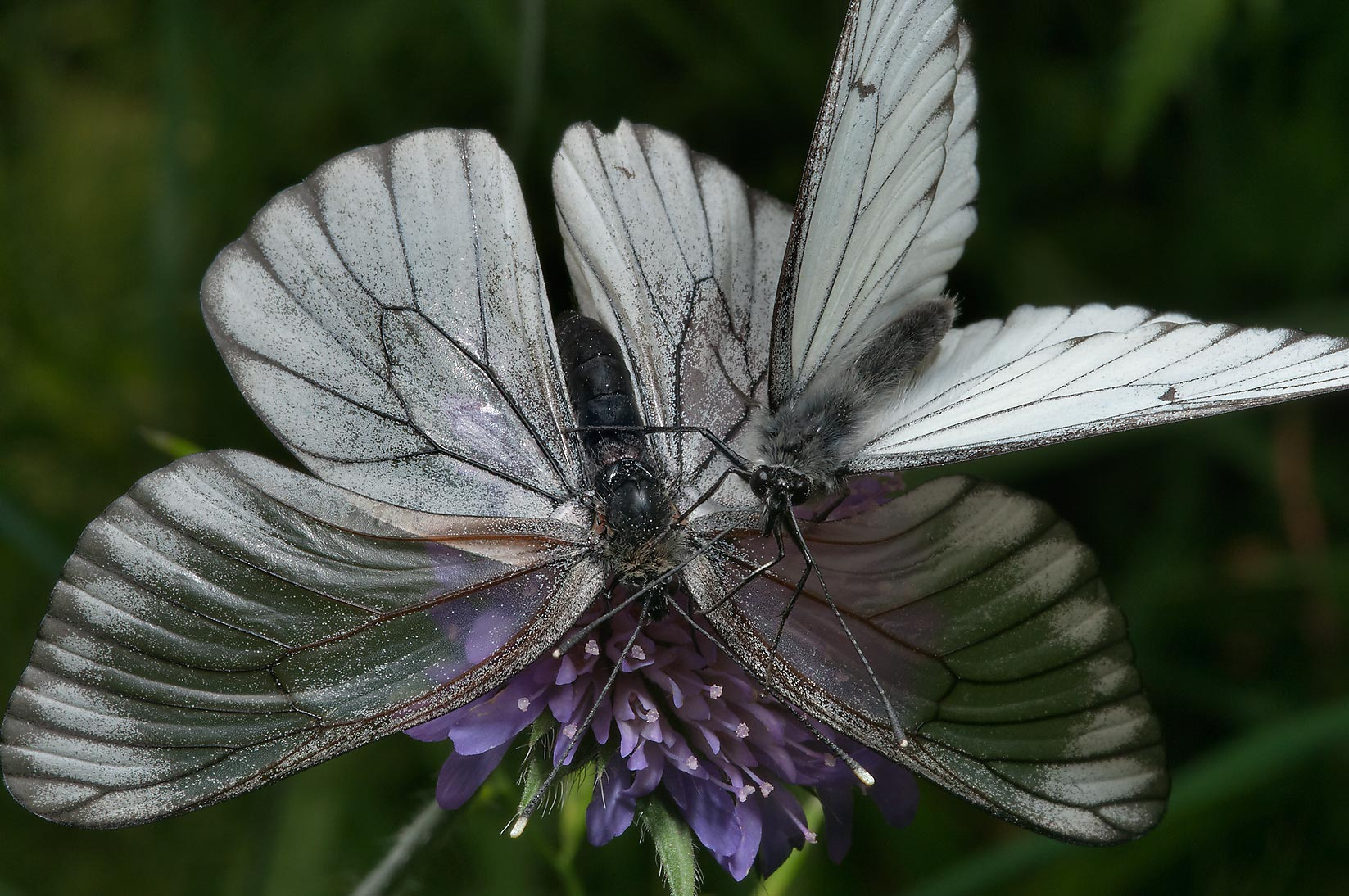 Pair of black-veined white butterflies (Aporia...miles south from St.Petersburg. Russia