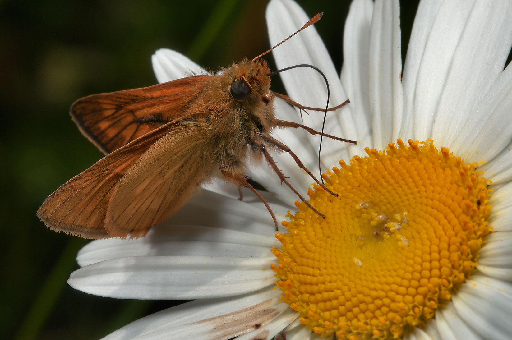 Skipper on a daisy in fields west from Deviatkino. St.Petersburg, Russia