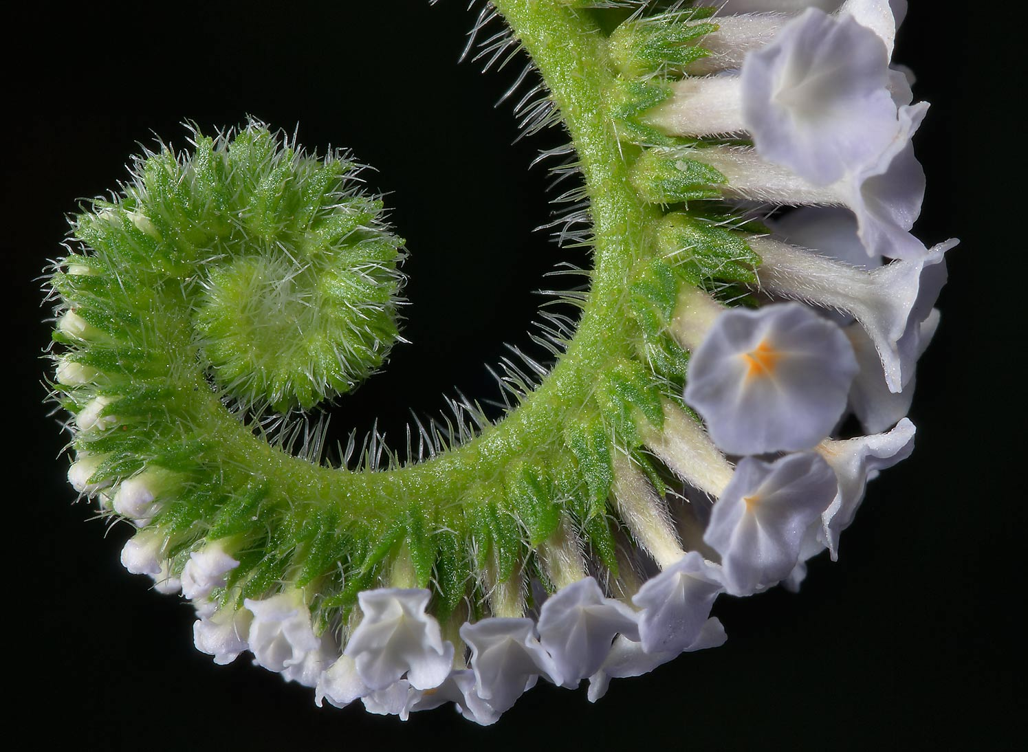 Uncoiling inflorescence of turnsole (Heliotropium...State Historic Site. Washington, Texas