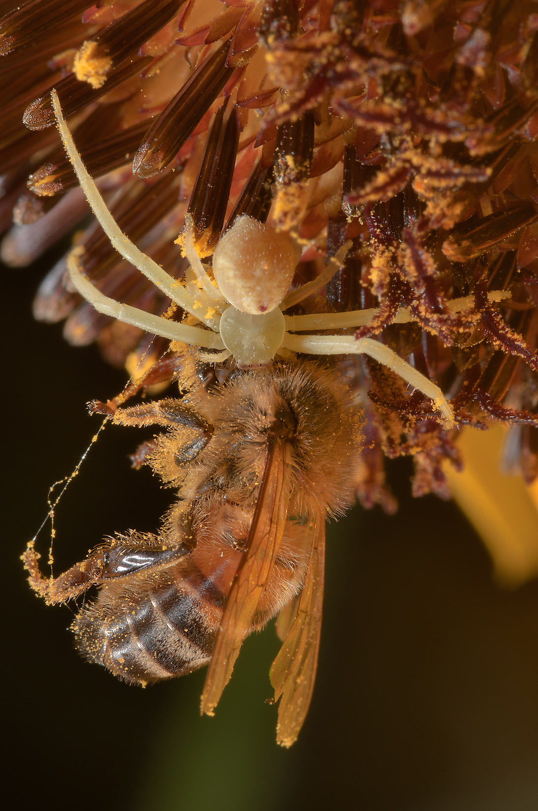 Crab spider eating a honey bee in Lake Bryan Park. Bryan, Texas