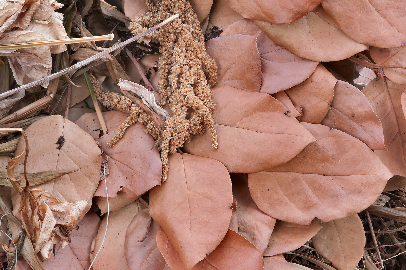 Dry leaves in a compost pile in TAMU Holistic...M University. College Station, Texas