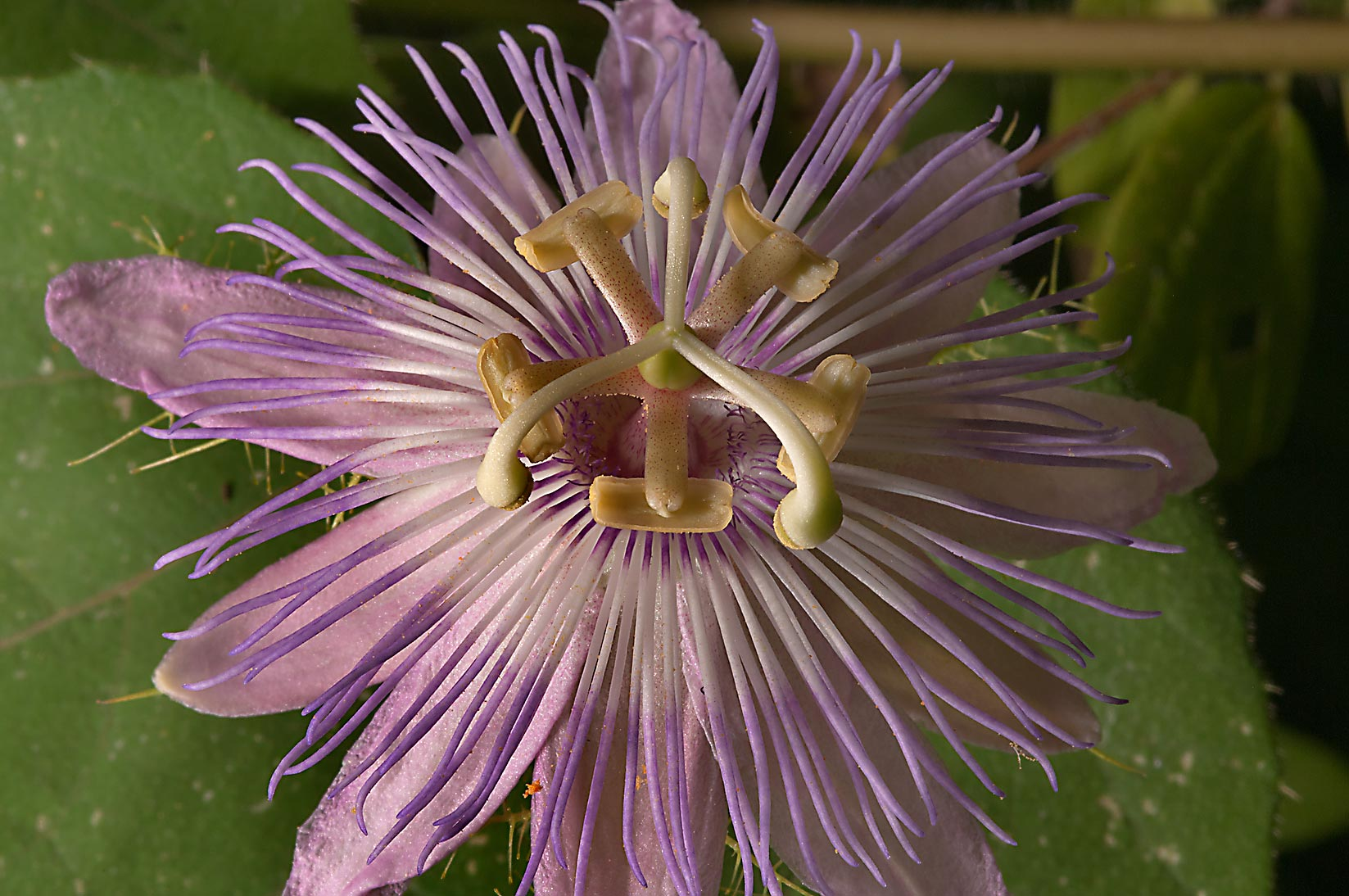 Passion flower (passiflora) in TAMU Horticultural...M University. College Station, Texas
