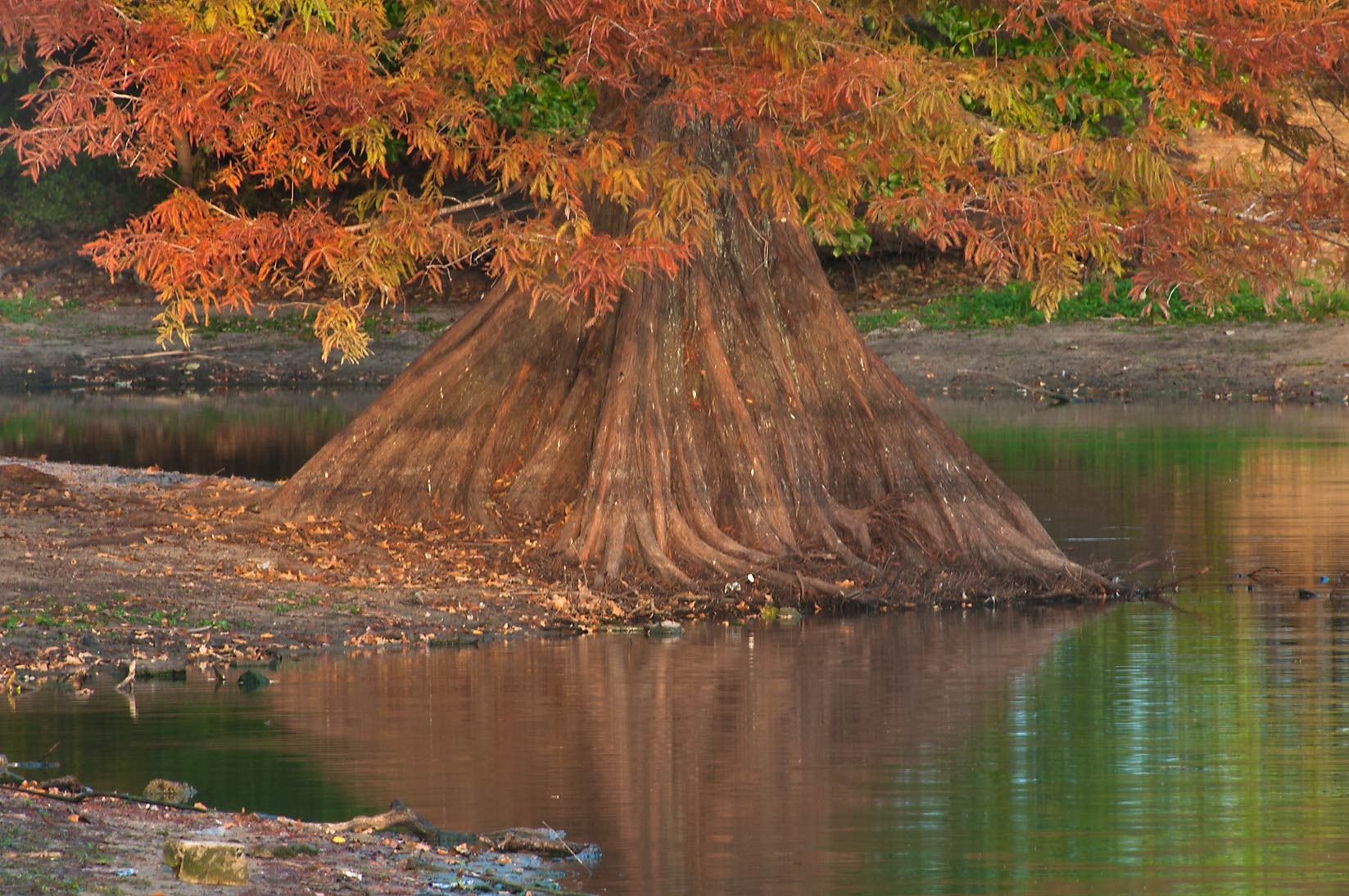 Cypress in a pond of Central Park. College Station, Texas