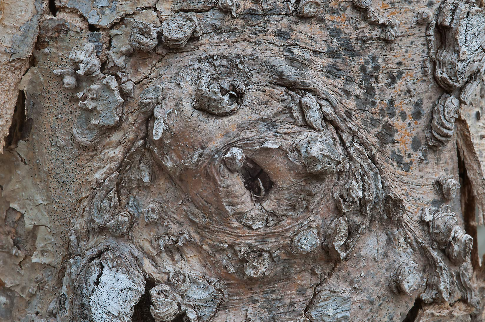 Detail of bark of dead hackberry (Celtis...State Historic Site. Washington, Texas
