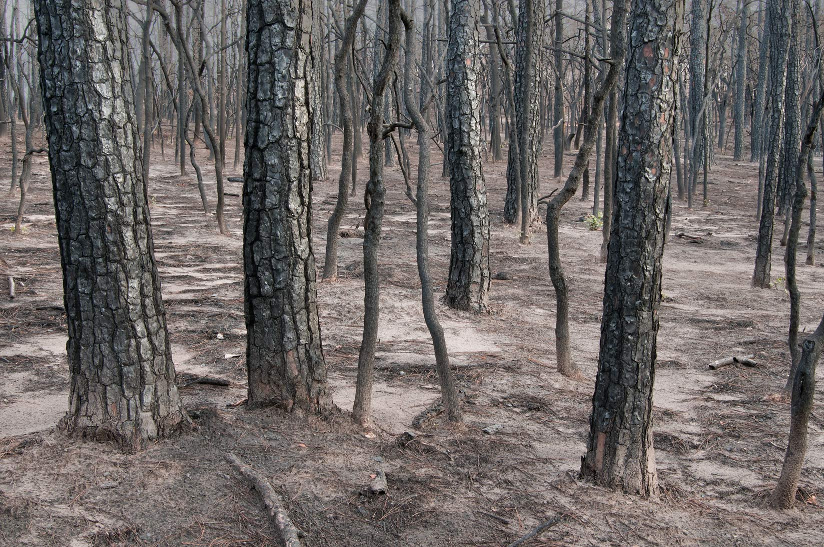Burned moonscape in Bastrop State Park. Bastrop, Texas