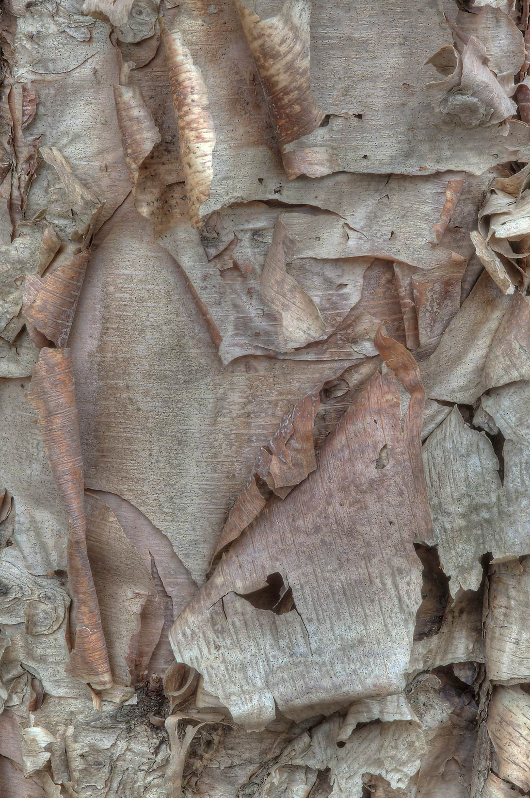 Peeling curls of bark of river birch (Betula...Creek Park. College Station, Texas