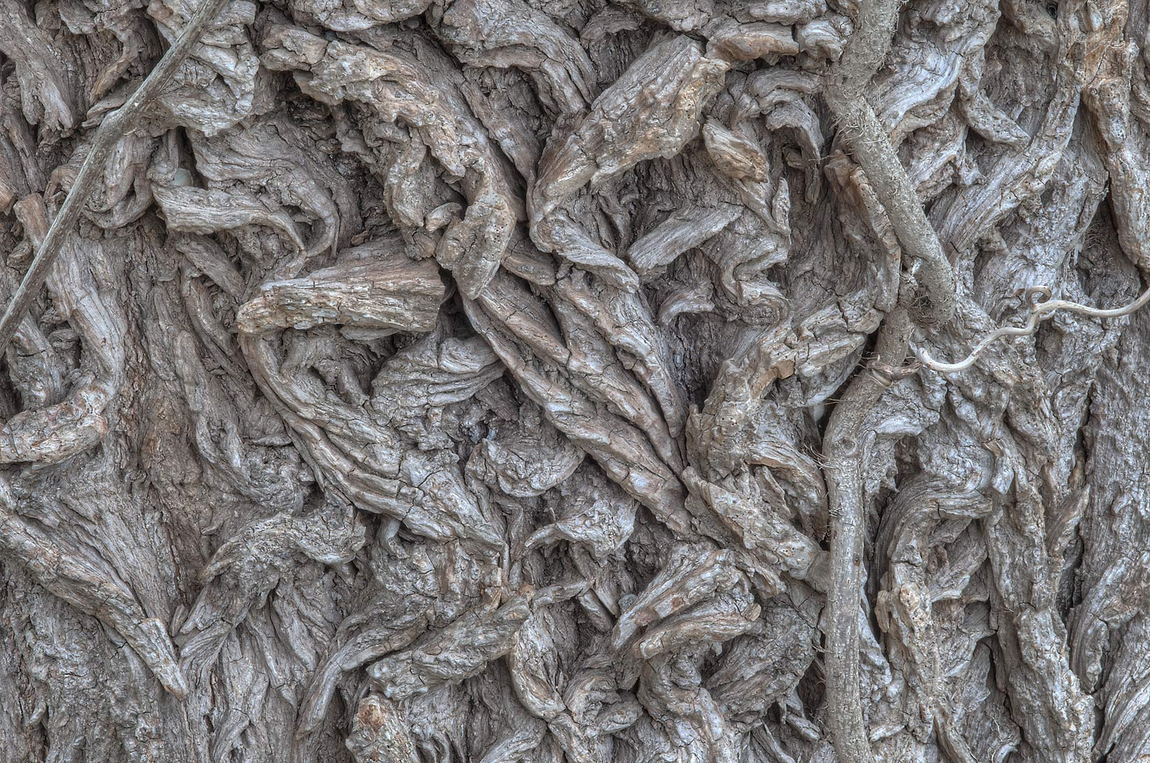Bark at the base of large black willow tree in...State Historic Site. Washington, Texas
