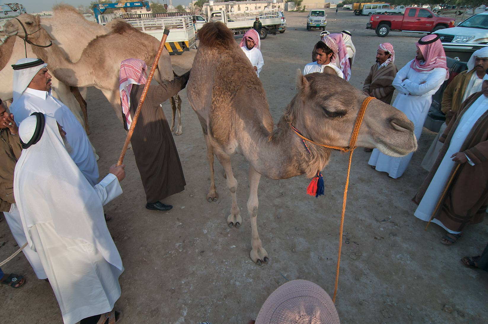 Showing an animal at Camel Market (Souq), for racing. Doha, Qatar