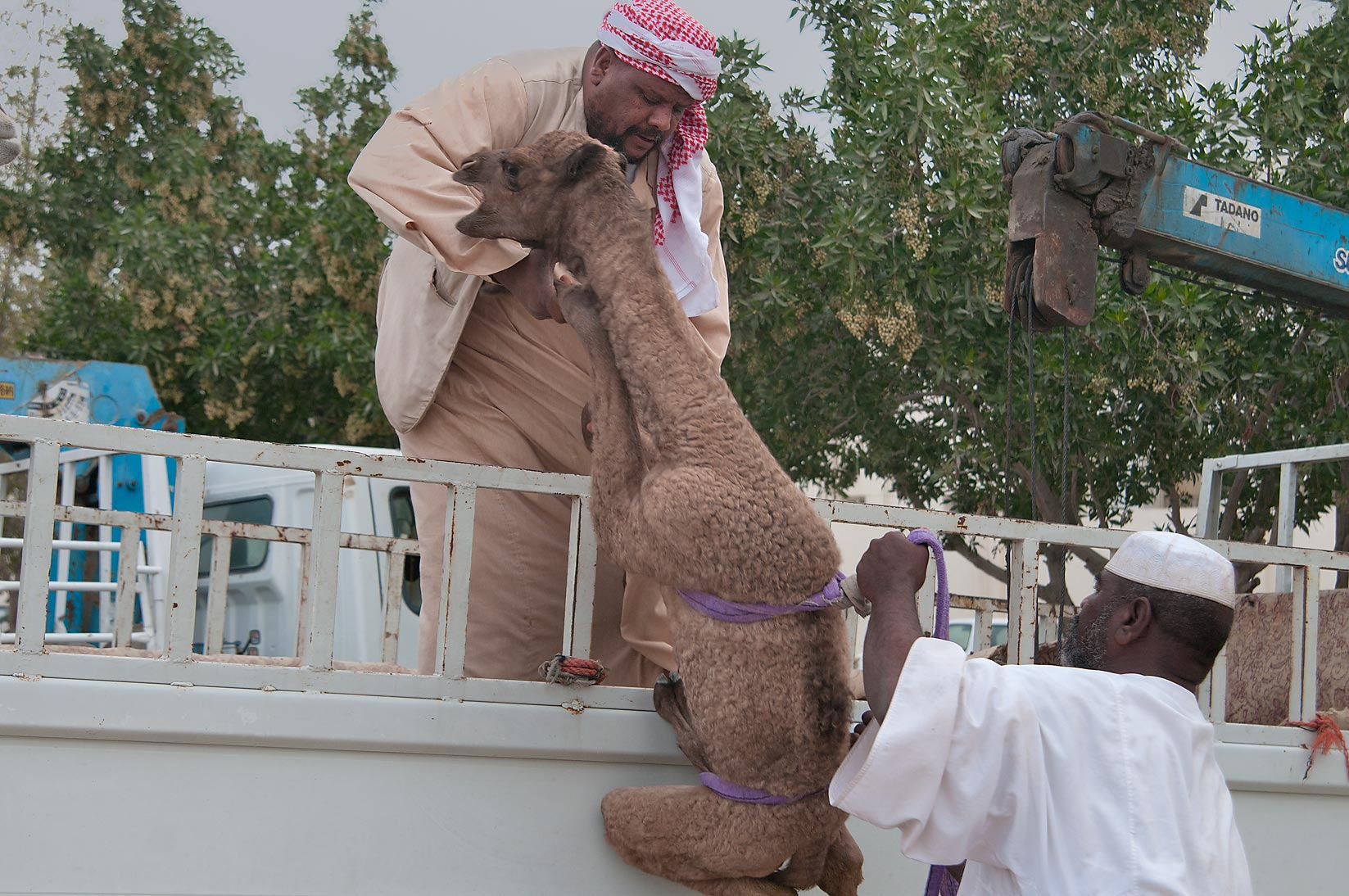 Lifting a camel calf on a truck in Camel Market (Souq), racing section. Doha, Qatar