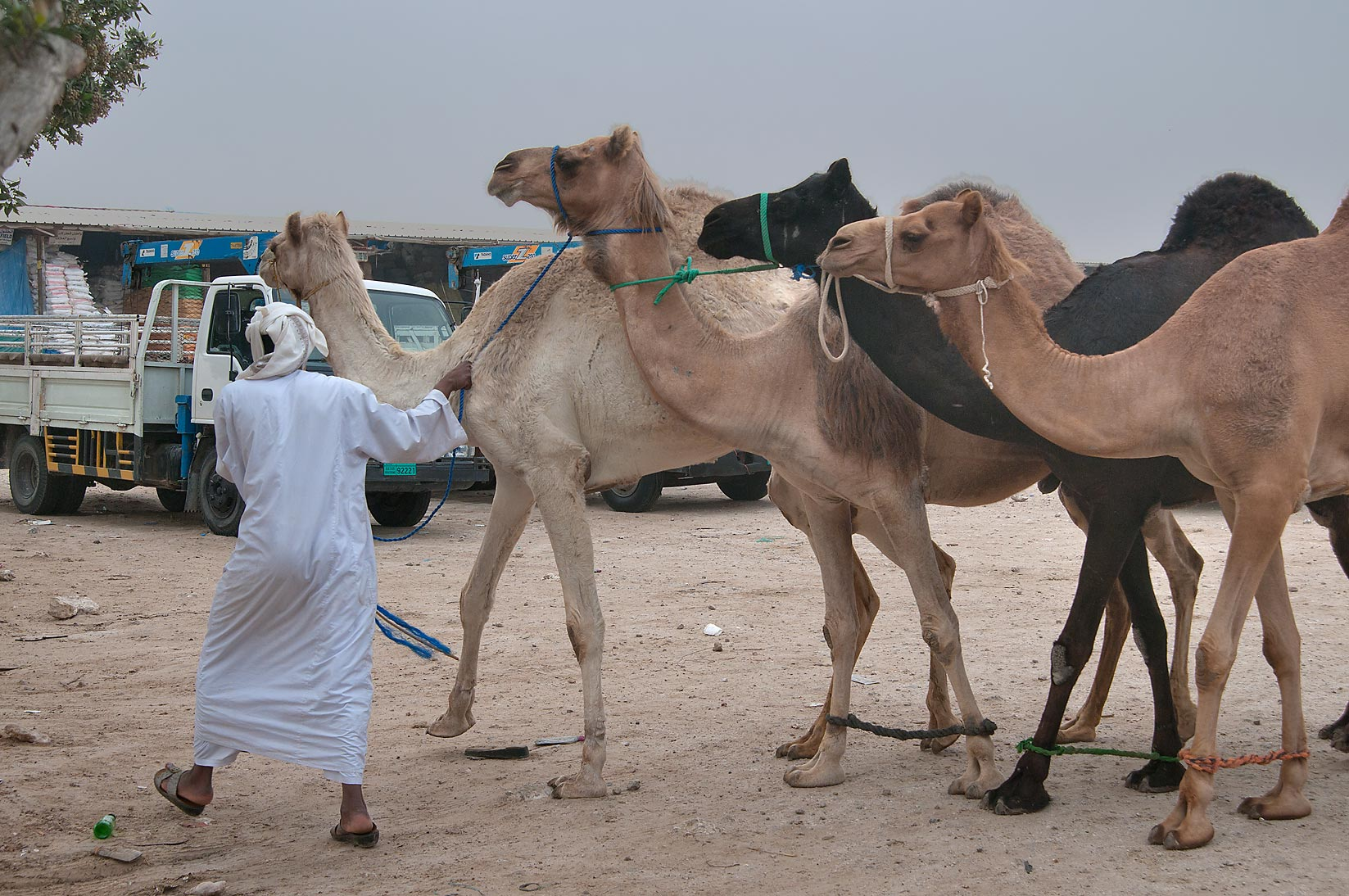 A person with four camels in Camel Market (Souq), racing section. Doha, Qatar