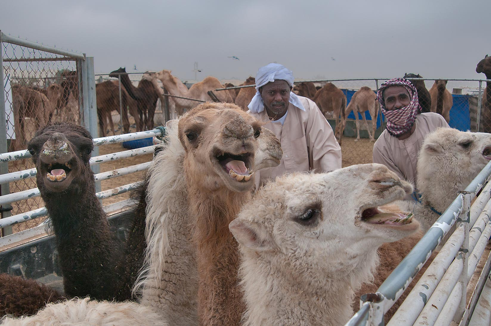 Angry camels in Camel Market (Souq). Doha, Qatar