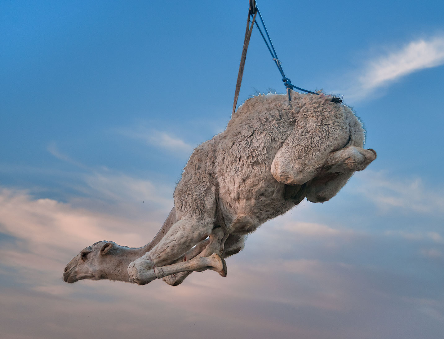 Lamb like camel lifted by crane in Camel Market (Souq). Doha, Qatar