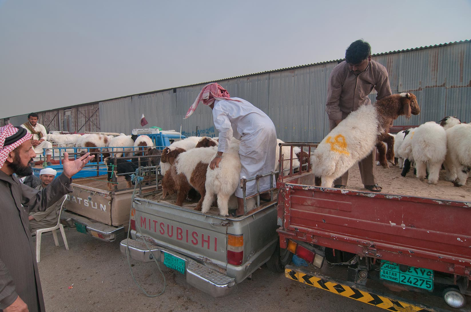 Choosing a sheep in Wholesale Animal Market. Doha, Qatar