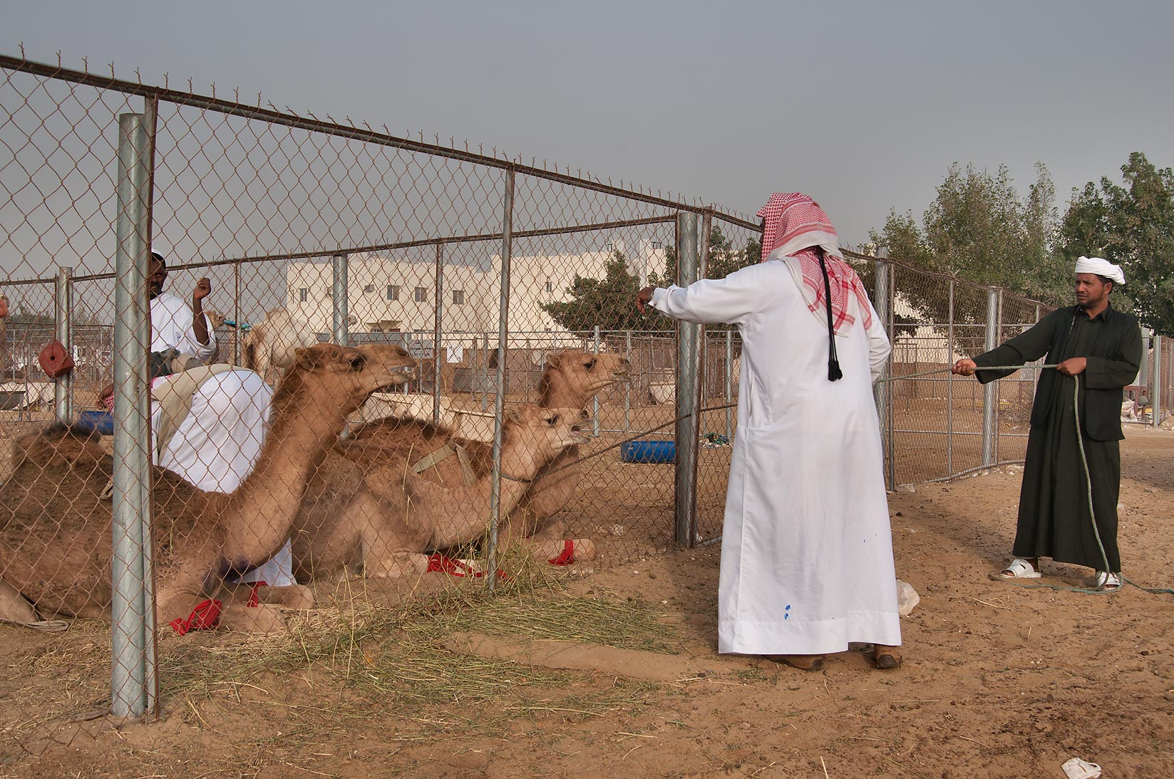Choosing right camel in Camel Market. Doha, Qatar