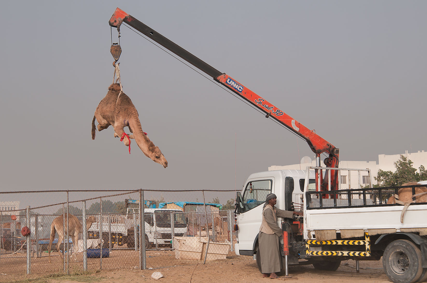 Lifting a camel by hydraulic crane in Camel Market. Doha, Qatar