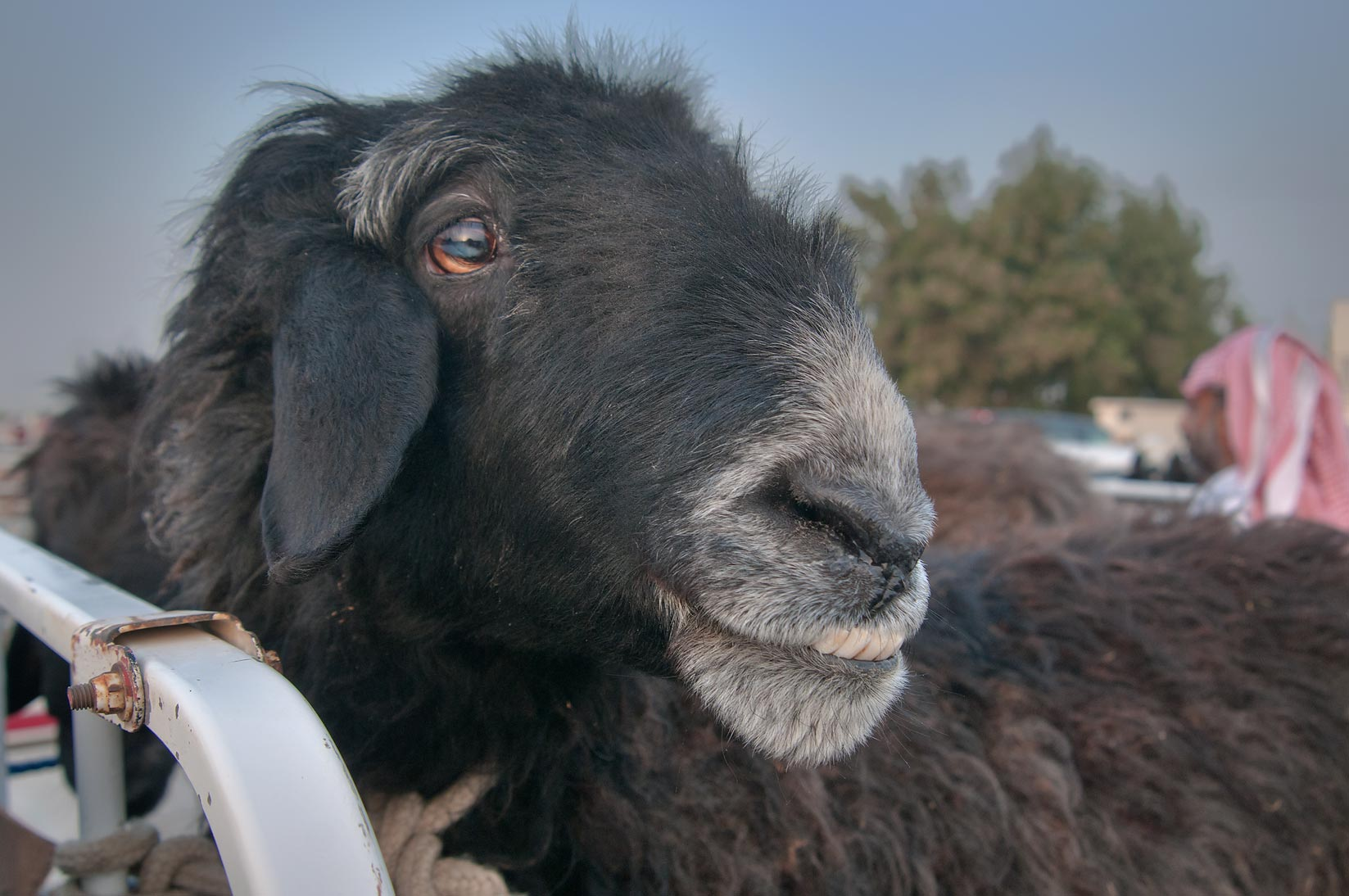Najdi goat in a truck in Wholesale Animal Market. Doha, Qatar