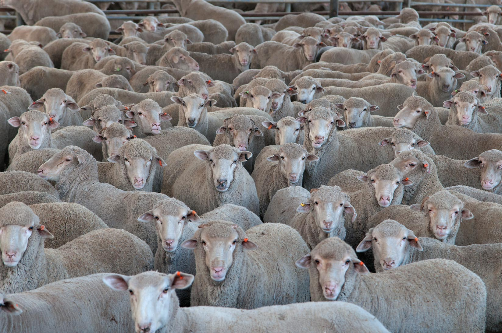 Herd of Australian sacrificial sheep in a feedlot...Mawashi Slaughterhouse. Doha, Qatar