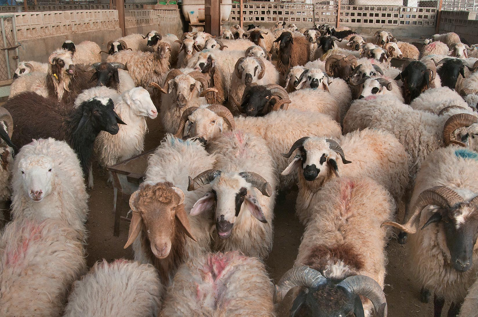 Rams in a pen in Wholesale Animal Market. Doha, Qatar