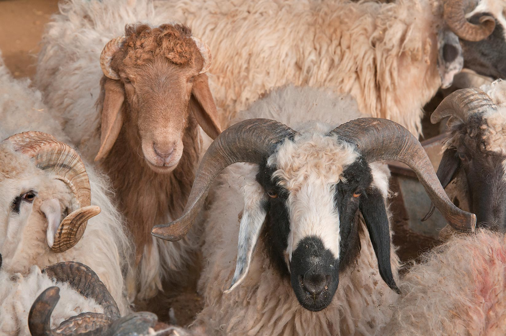 Rams and goats in a pen in Wholesale Animal Market. Doha, Qatar