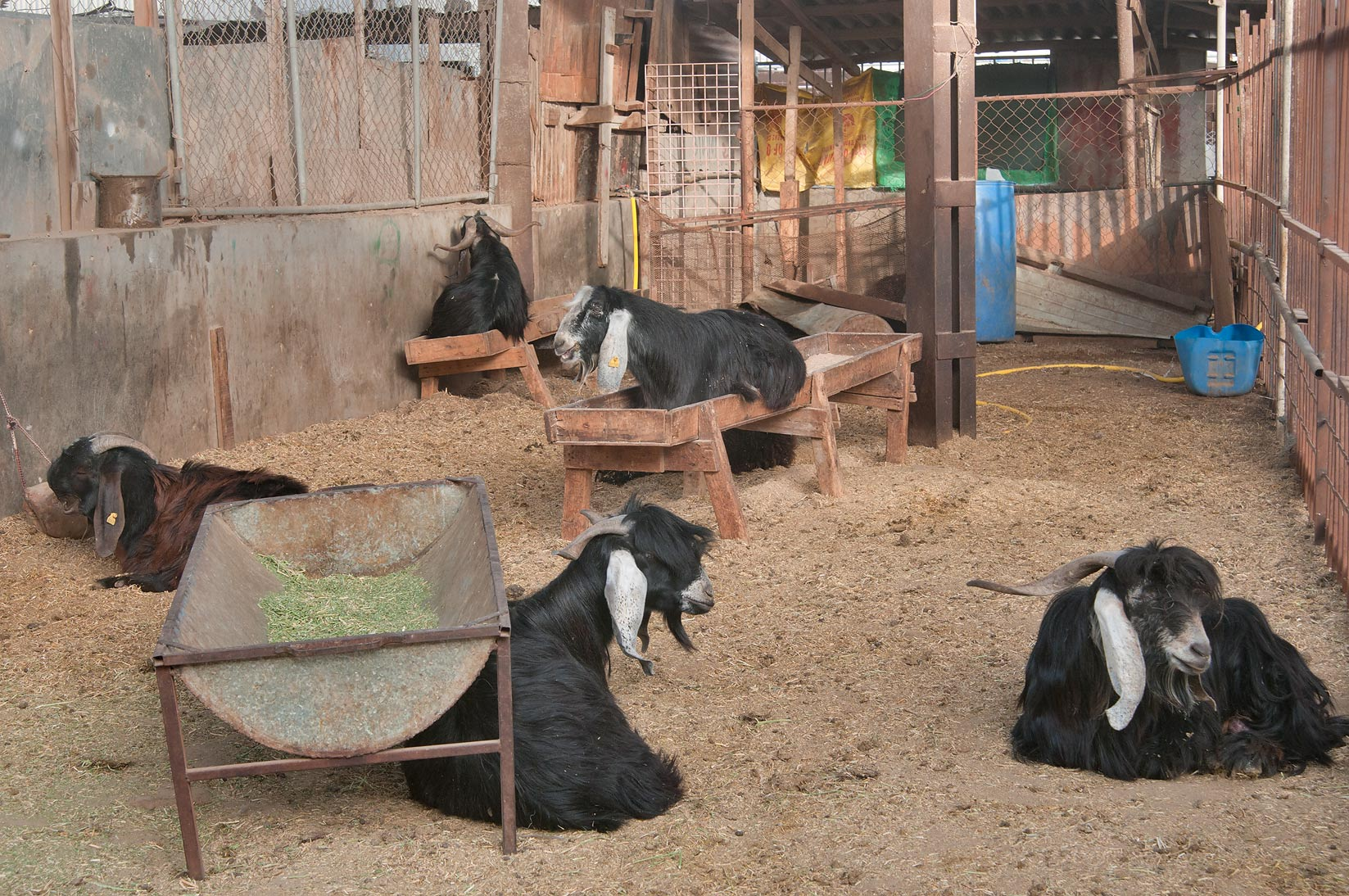 Black goats in a pen in Wholesale Animal Market. Doha, Qatar