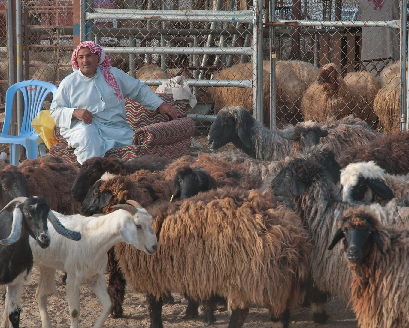 A sitting person with goats in Wholesale Animal Market. Doha, Qatar